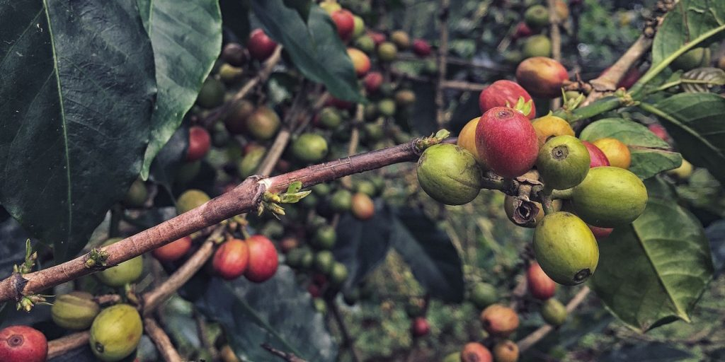 Coffee cherry on a coffee plant. The coffee value chain is key to the agricultural transformation agenda in East Africa.