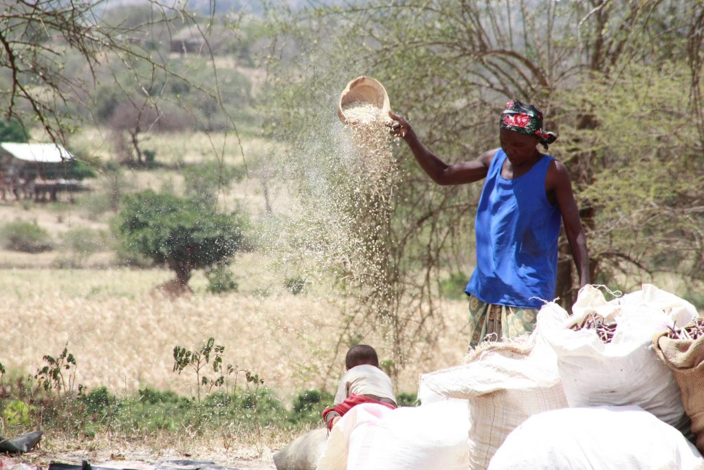 A farmer sifting grain in Makueni county, Kenya.