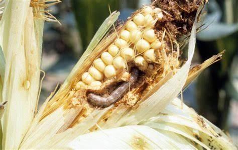 image2 maize